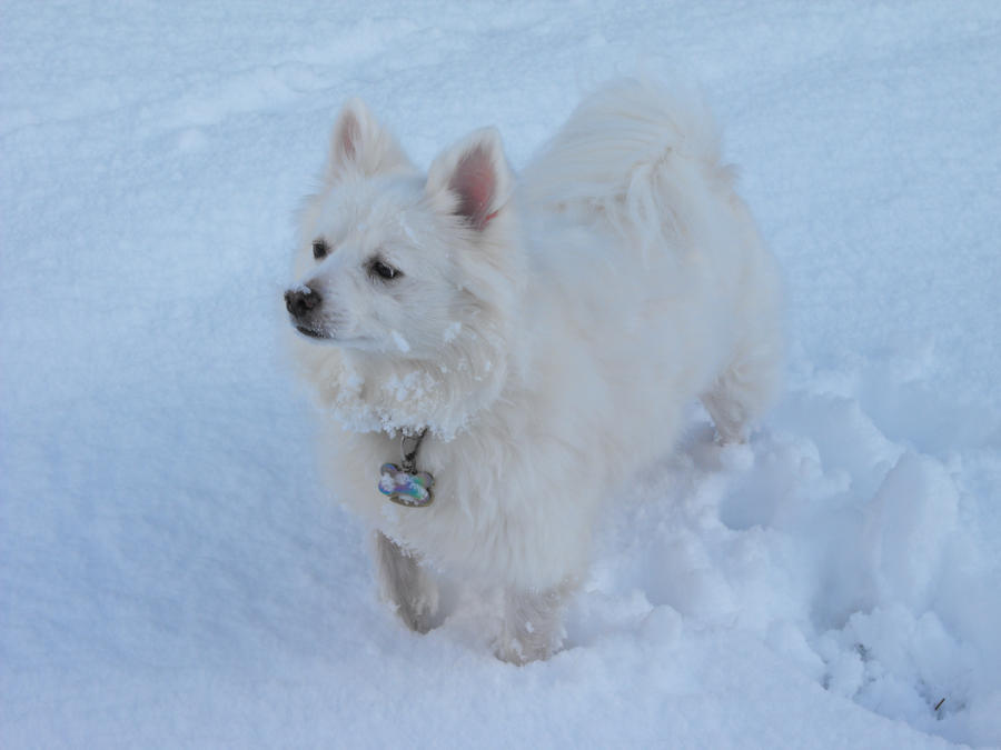 American Eskimo III by Photos-By-Michelle