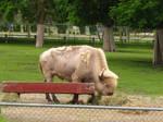 White Bison Stock