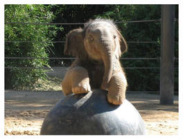 Baby Elephant Walk 2 by AbyssinianSphinxie