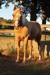 Palomino Quarter Horse Stock