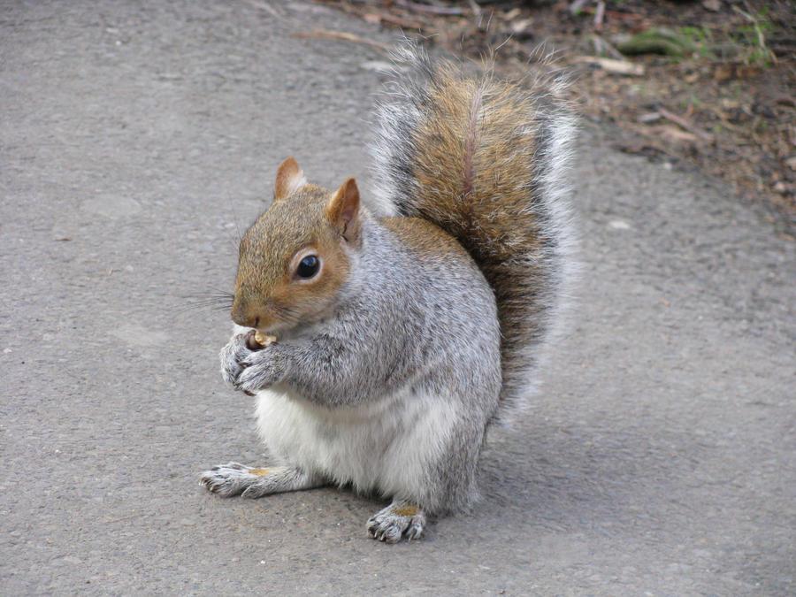 Animals 088 squirrel by Dreamcatcher-stock