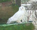 Animals 014 snowy owl