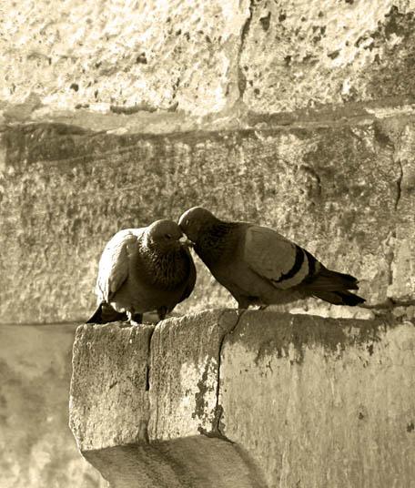 Loving pigeons by davidsant