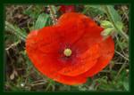 Red Poppy Poem
