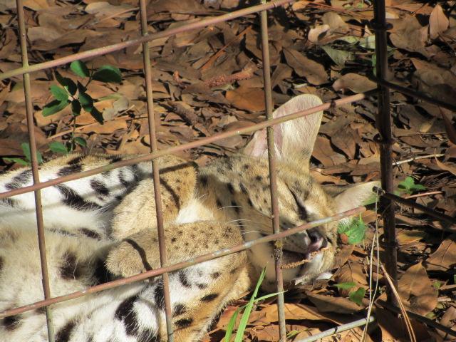 Serval by Morganizer
