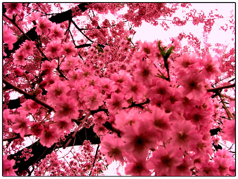 Pink flowers by oatstheman on deviantart pink flowers by oatstheman mightylinksfo