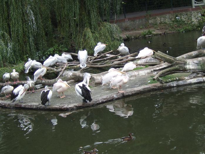 Berlin Zoo - Pelican Island by Crash-the-Megaraptor