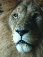 Lion by Elfster