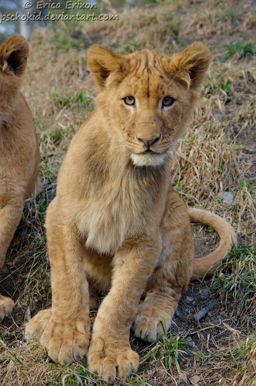 young lion by Pschokid