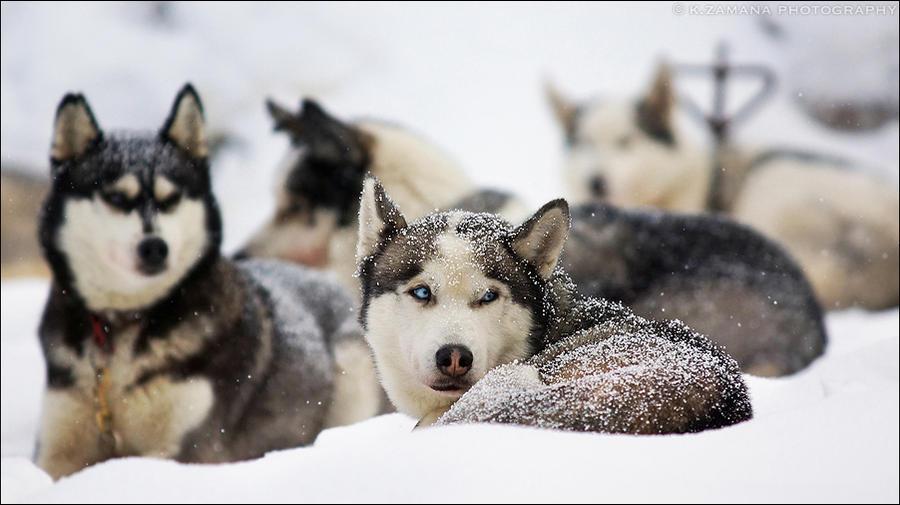 Siberian Husky by Exileden