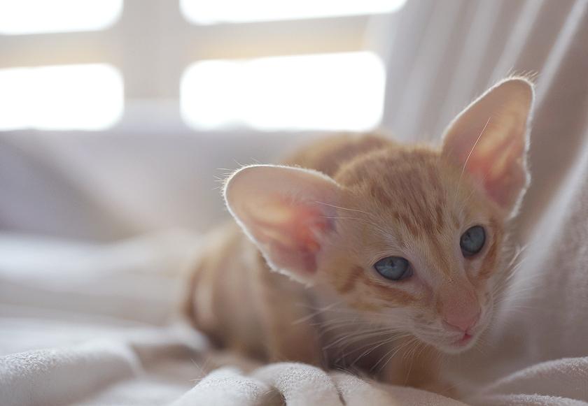 Oriental Kitten by Exileden