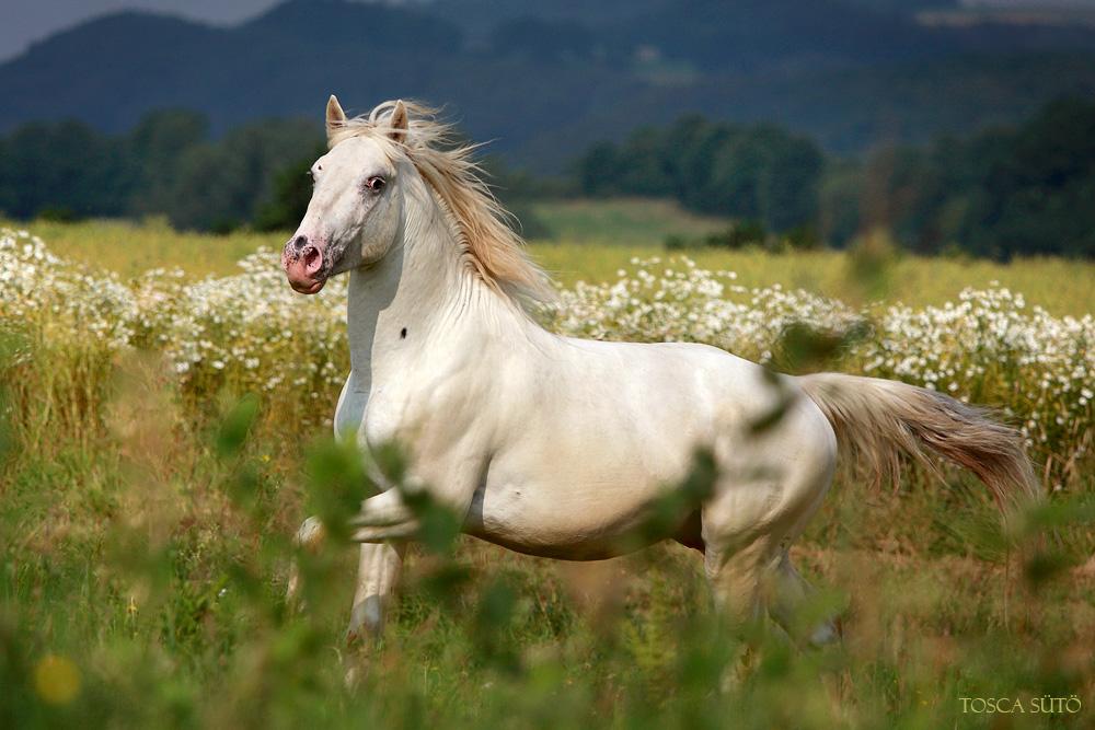 Knabstrupper Stallion by vadalein