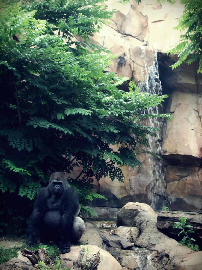 Gorilla II by evelynrosalia