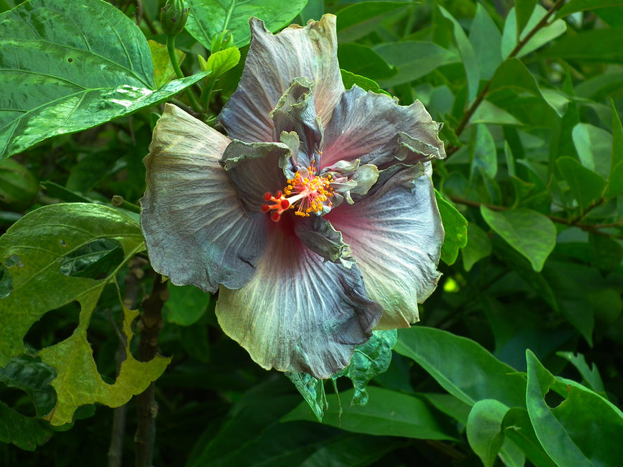 Hibiscus by BrendanR85