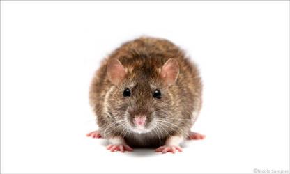 Wispa the ratty by Niksu-07
