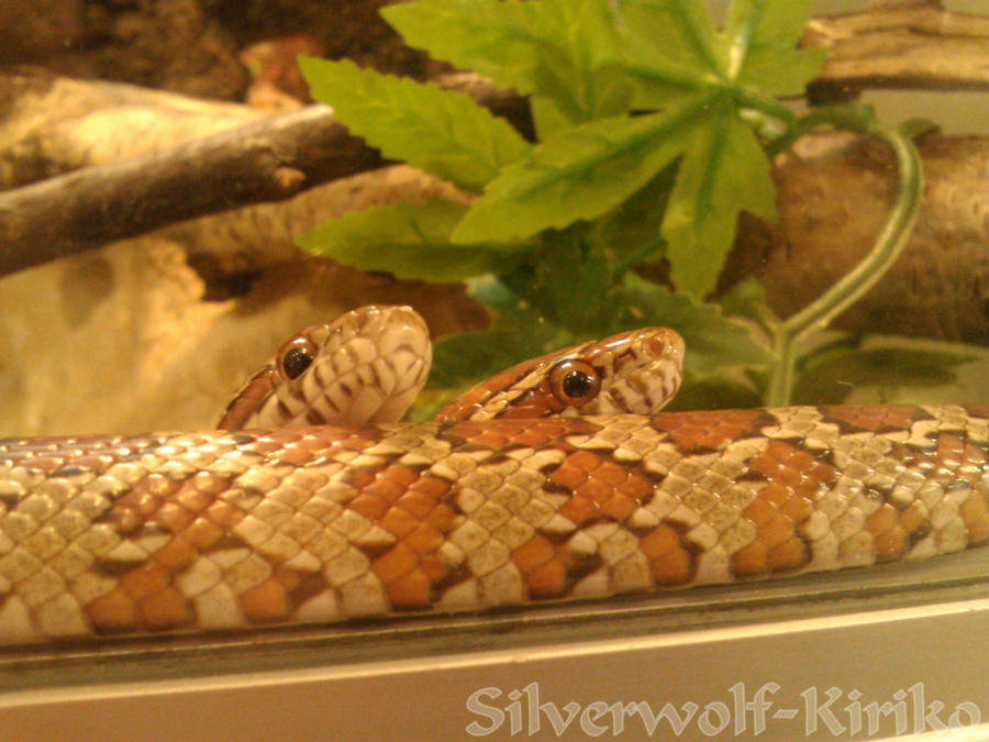 Corn Snakes by KirikoSoul