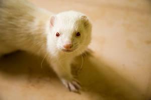 A Profound Little Ferret by Chowder0