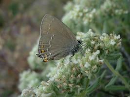 Lavender Lepidoptera