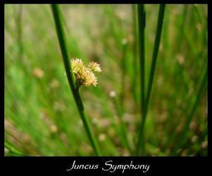 Juncus Symphony by Encephalartos
