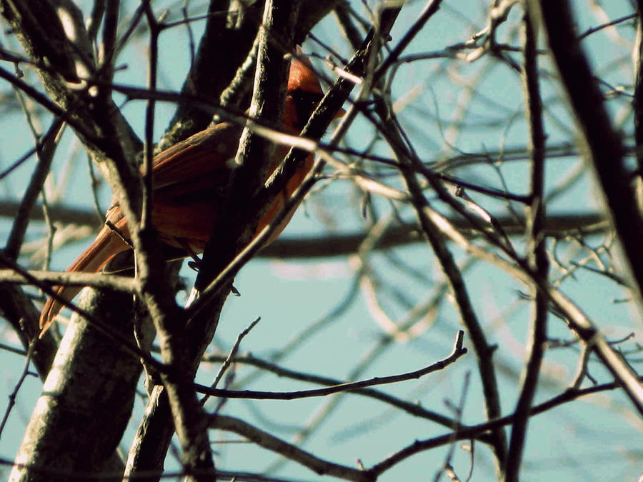 Cardinal by RainbowGuitars
