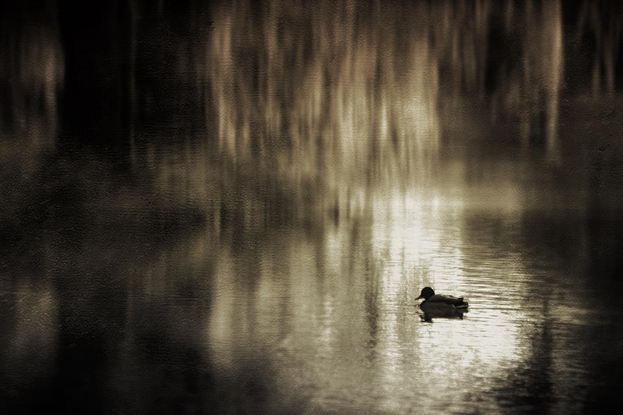 duck... by iwetka