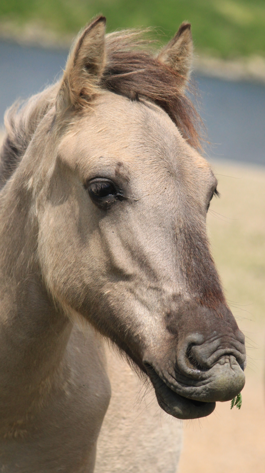 Konik 48 by SilverCoast