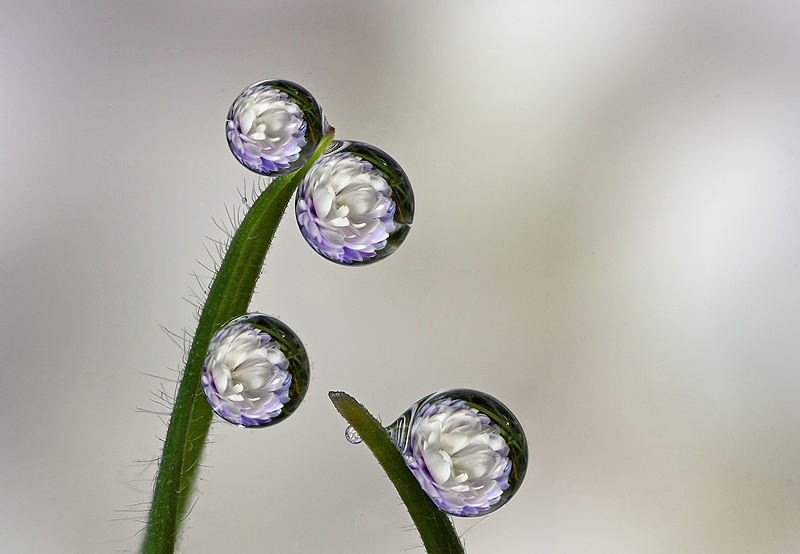 Dew Drop Refraction 3 by Alliec
