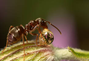Ant with a Honey Drop by Alliec