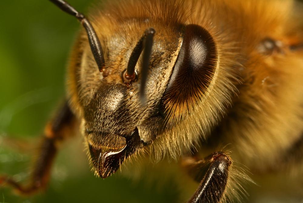 Honey bee eyes