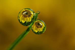 Dew Drop Refractions 2 by Alliec