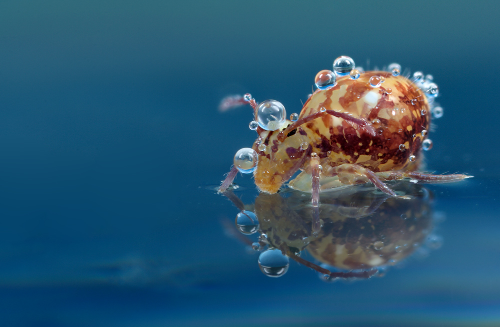 Springtail Reflection 5