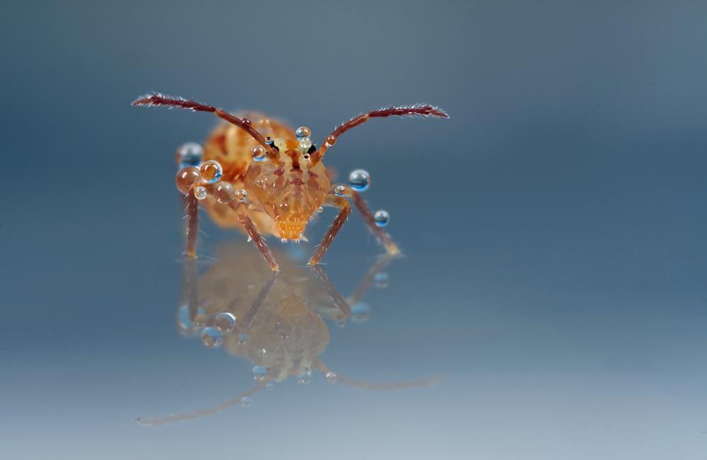 Globular Springtail 10 by Alliec