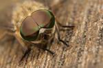 Horsefly eyes