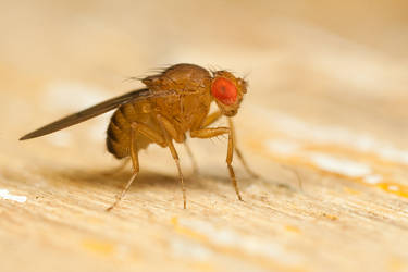 Fruit Fly by Alliec