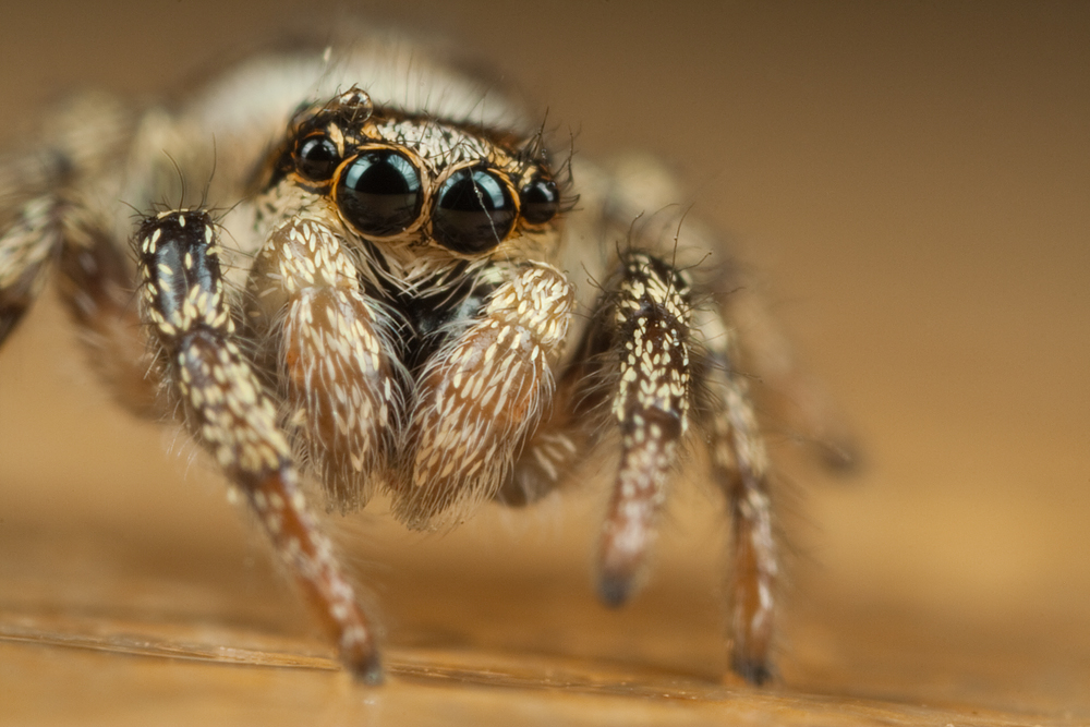 Cute jumping spider - photo#9