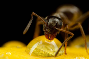 Ant on a Tulip by Alliec