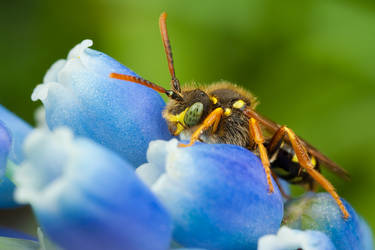 Fill Flash Nomada Bee by Alliec