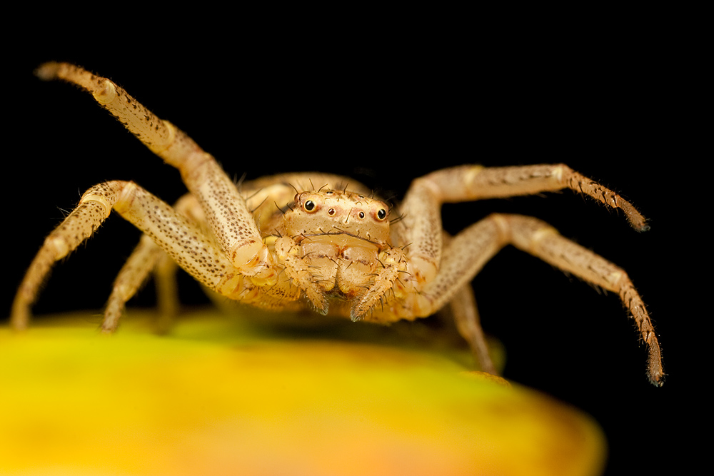 Cute Crab Spider 4 by Alliec