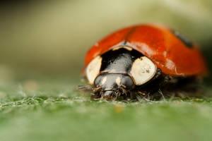 Ladybird 2 by Alliec