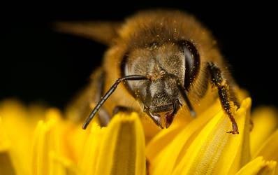 Honey Bee on yellow