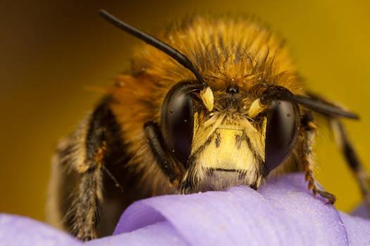 Miner Bee on Purple