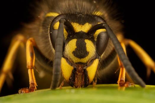 Queen Wasp 2010 - 2