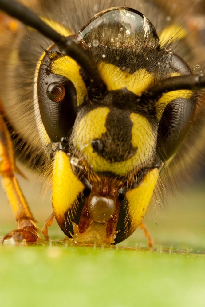Queen Wasp 2010 - 4 by Alliec Queen Wasp