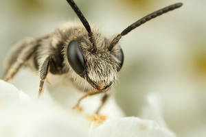 Small Solitary Bee by Alliec