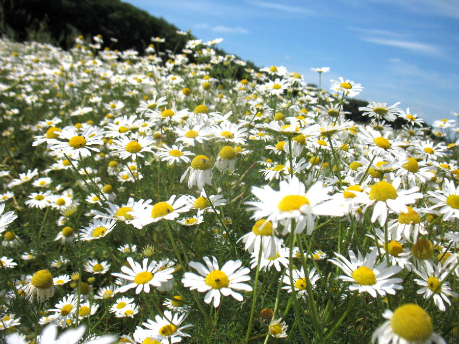 Field of daisies by Kasiowo on DeviantArt Field Of Daisies