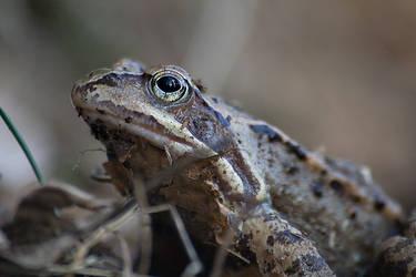 A frog by villekroger