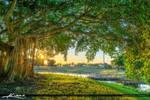 Banyan-Tree-at-Dreher-Park-in-West-Palm-Beach-FL
