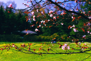 Sakura (2) by Liudochka