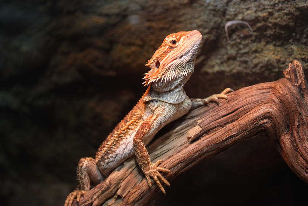 Bearded dragon 2 by very free stock on deviantart bearded dragon 2 by very free stock voltagebd Choice Image