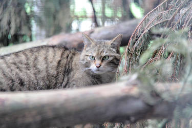 Scottish Wildcat by Artistic-Dodger